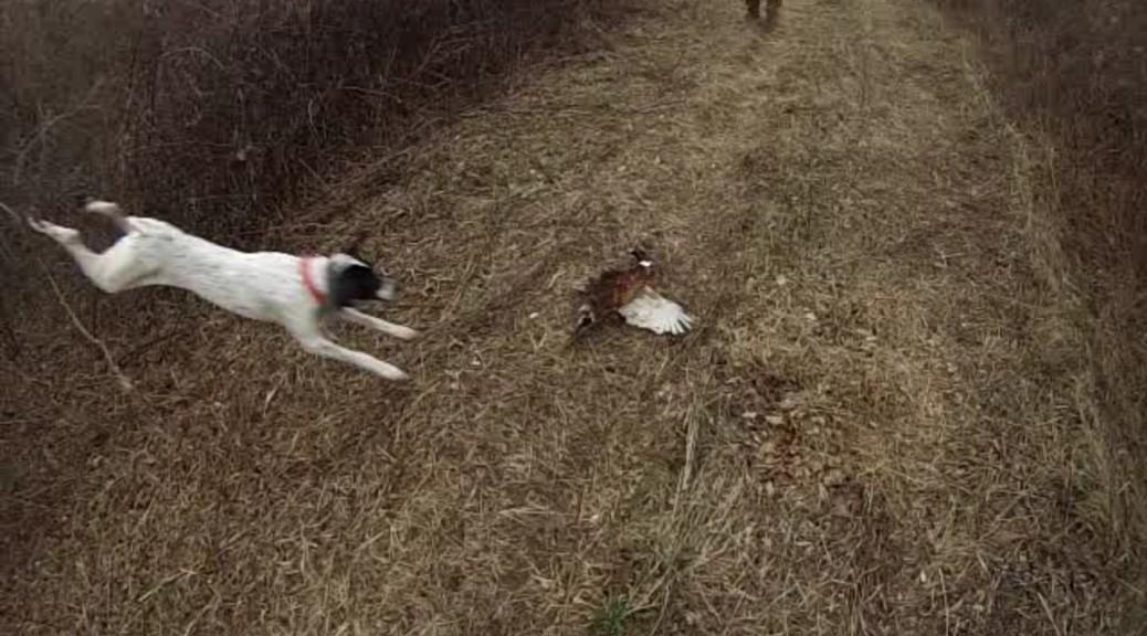 NJ Pheasant Hunting at Spruce Run
